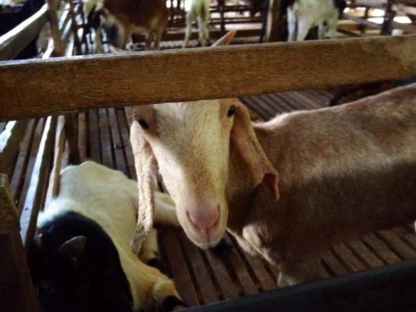 kambing-puncak-mutiara